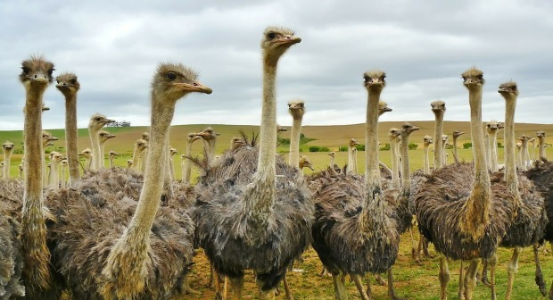 ostriches in group