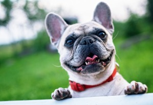 smiling-french-bulldog